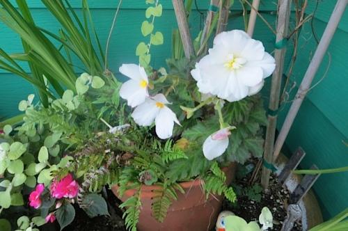 Mary's white begonia