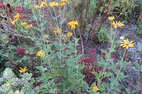 a cheerful yellow...Rudbeckia? or ?? in front garden