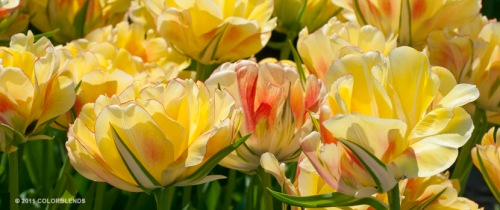 Tulip 'Akebono' from Colorblends.  Wish I had gotten 100 instead of just 25.