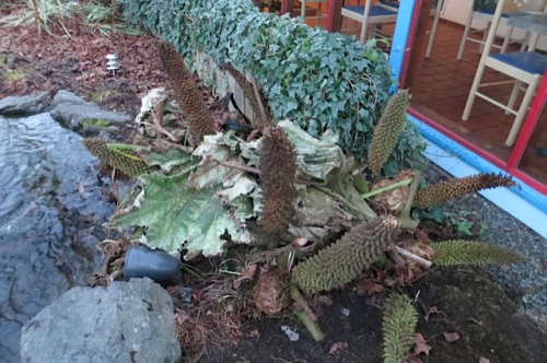 Gunnera tucked in for winter