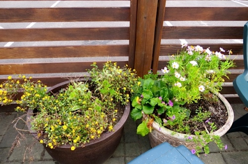 annuals still blooming