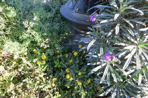some Sanvitalia and California poppies still looking fine...with Erysimum 'Bowles Mauve'