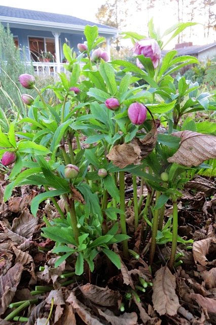 Hellebore in bud.  It will be glorious.