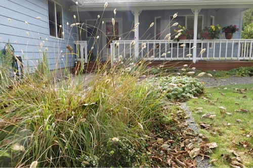 low growing Bunny Tail grass