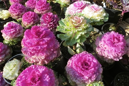 ornamental cabbages for sale