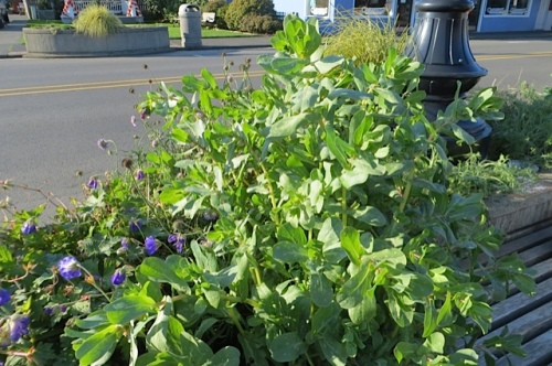 The frost did not take down this Cerinthe volunteer!