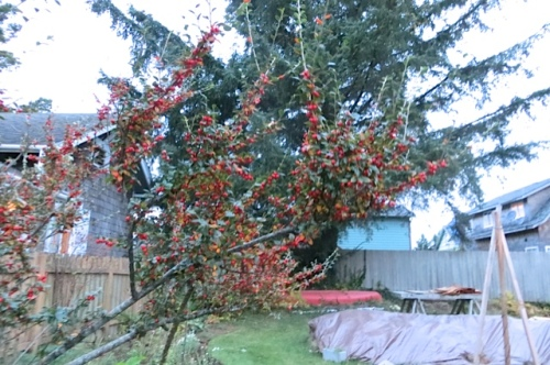 cotoneaster berries at twilight