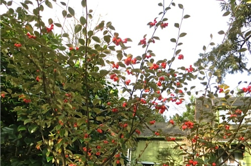 one of Erin's cotoneasters