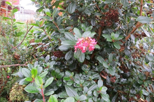 Escallonia 'Pink Princess' blooming ridiculously late