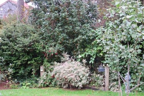 Fuchsia magellanica 'Versicolor' in the dog memorial garden