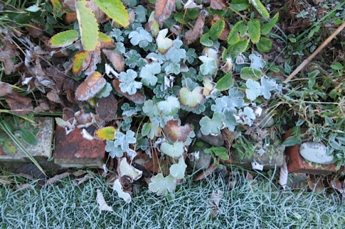 Geranium renardii in the front garden