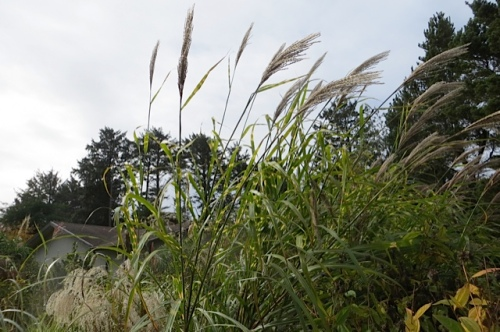 tall Miscanthus at Marilyn's