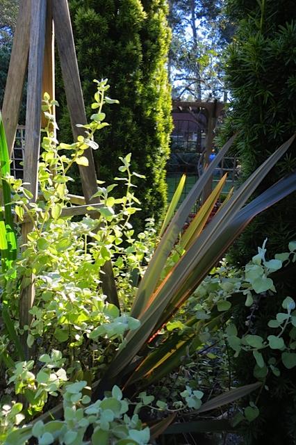 Helichrysum 'Limelight'