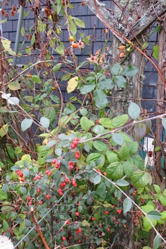 cotoneaster berries and rose hips