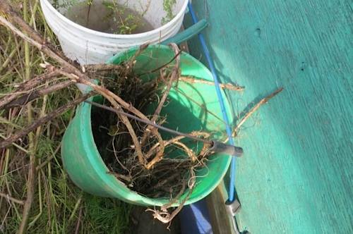 hops roots for Jim