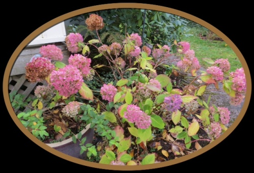 Larry and Robert's old hydrangea