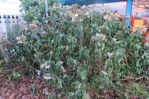 a limp hydrangea