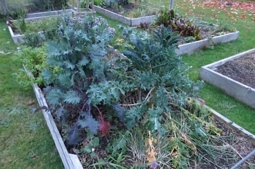 Nancy's good crop of winter kale.
