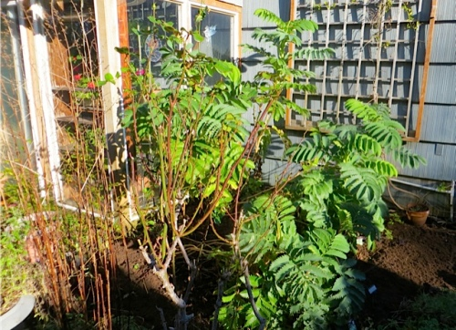 To the left of the Melianthus major, I like the brown stalks of Artemisia 'Ghuizo'.