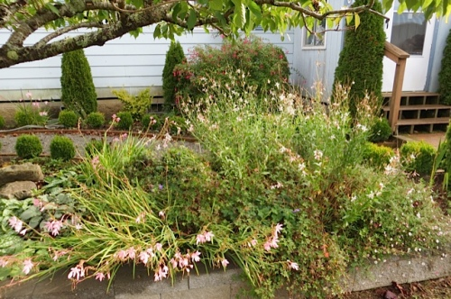 Gaura 'Whirling Butterflies'...