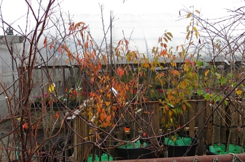 autumn colour on Planter Box trees for sale