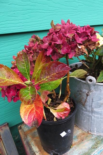 Hydrangea 'Pistachio' waiting to planted because I have not found the perfect spot.
