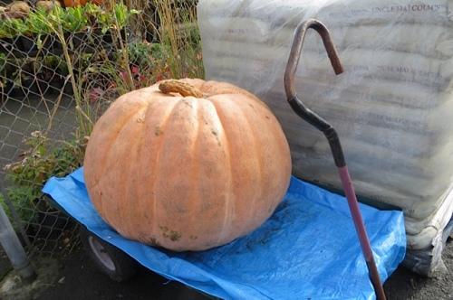150 pounds of pumpkin