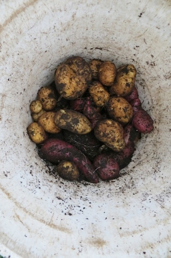 Yukon Gold and red potatoes