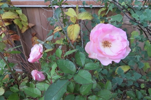 A rose still blooming in the northeast garden