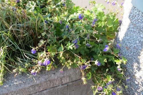 Geranium 'Rozanne' still blue