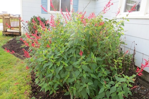 and an even bigger pineapple sage.  (blooms late, leaves smell like pineapple)