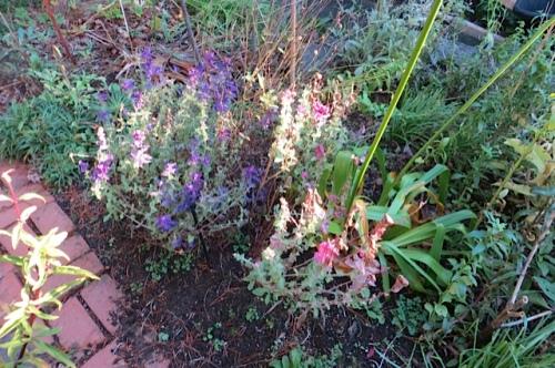I pulled the last of the Salvia viridis