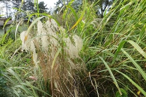 midlevel ornamental seed heads