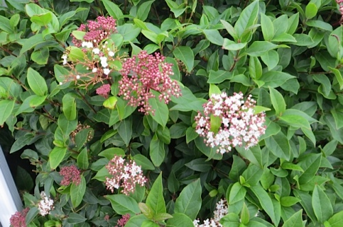 Virburnum, three stages of blooms