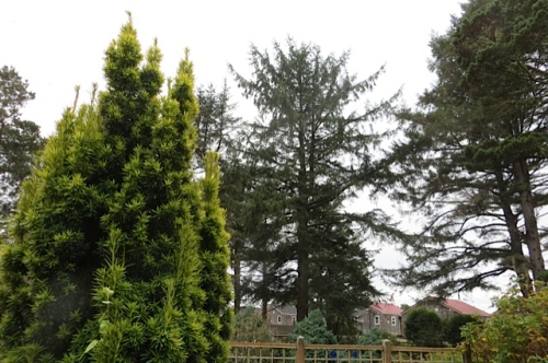 golden yew...the woods...the cottages