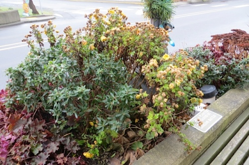 One chrysanthemum left in a Long Beach planter now needed chopping.