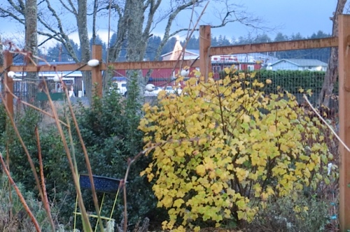 through the fence and the shrubs, Jessie's star in the background, gold leaves on flowering currant