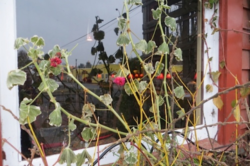 The last geranium in the Depot windowbox had finally frozen and could be cut back!