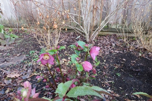 the first full flowering of a hellebore this season