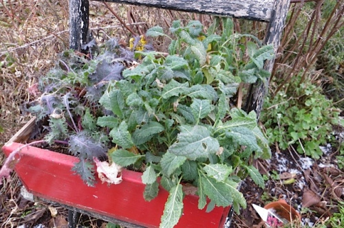 The kale is definitely sweeter, just as it is supposed to be after frost.