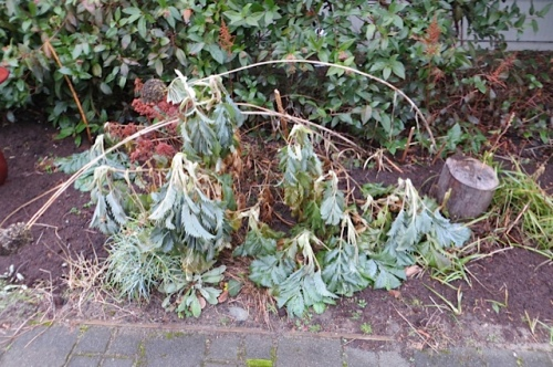 The melianthus major at The Anchorage Cottages was DOWN.