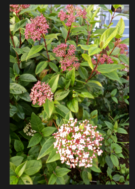 Viburnum tinus by the office