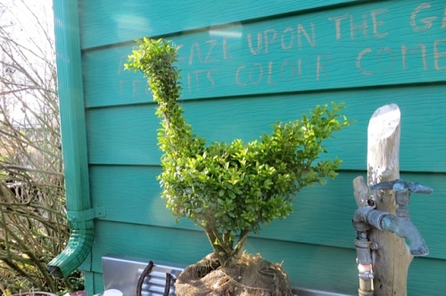 Sarah Sloane's topiary came through the cold weather with no protection other than the eaves of the house.