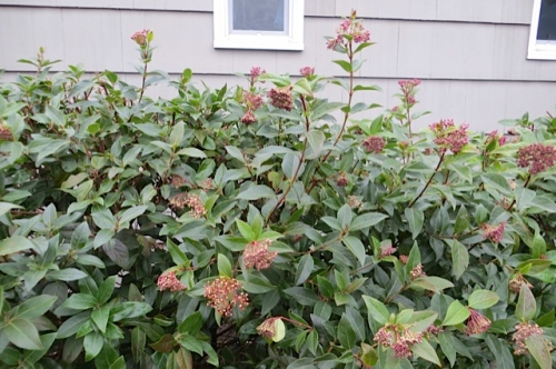 Even the Virburnum flowers looked a little toasted.