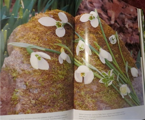 from The Layered Garden:  I feel the urge to collect Galanthus coming on...