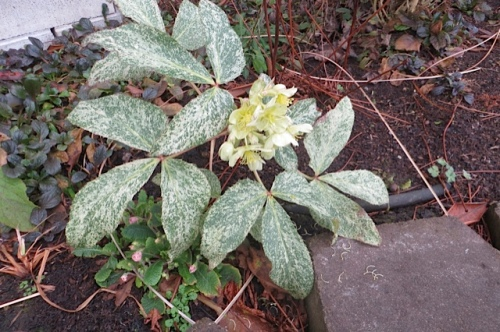 Hellebore with good leaves