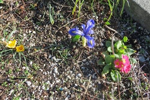 in a planter near Castaways:  Crocus, Iris reticulata and primrose