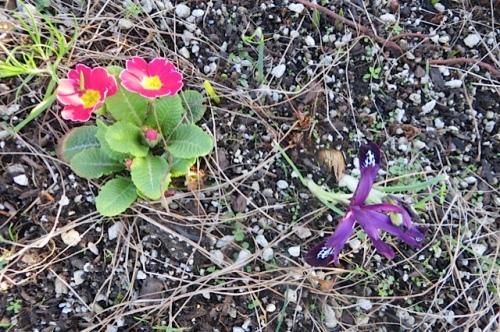 in the same planter: primrose and more Iris reticulata