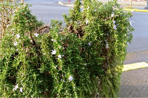 trailing rosemary flowering in one of the Ilwaco street planters