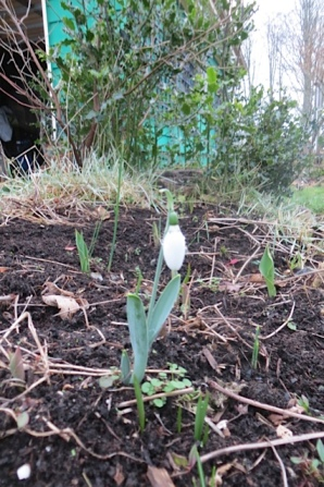 and...a snowdrop!
